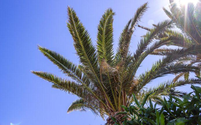 2015 09 Lanzarote PalmTrees 001