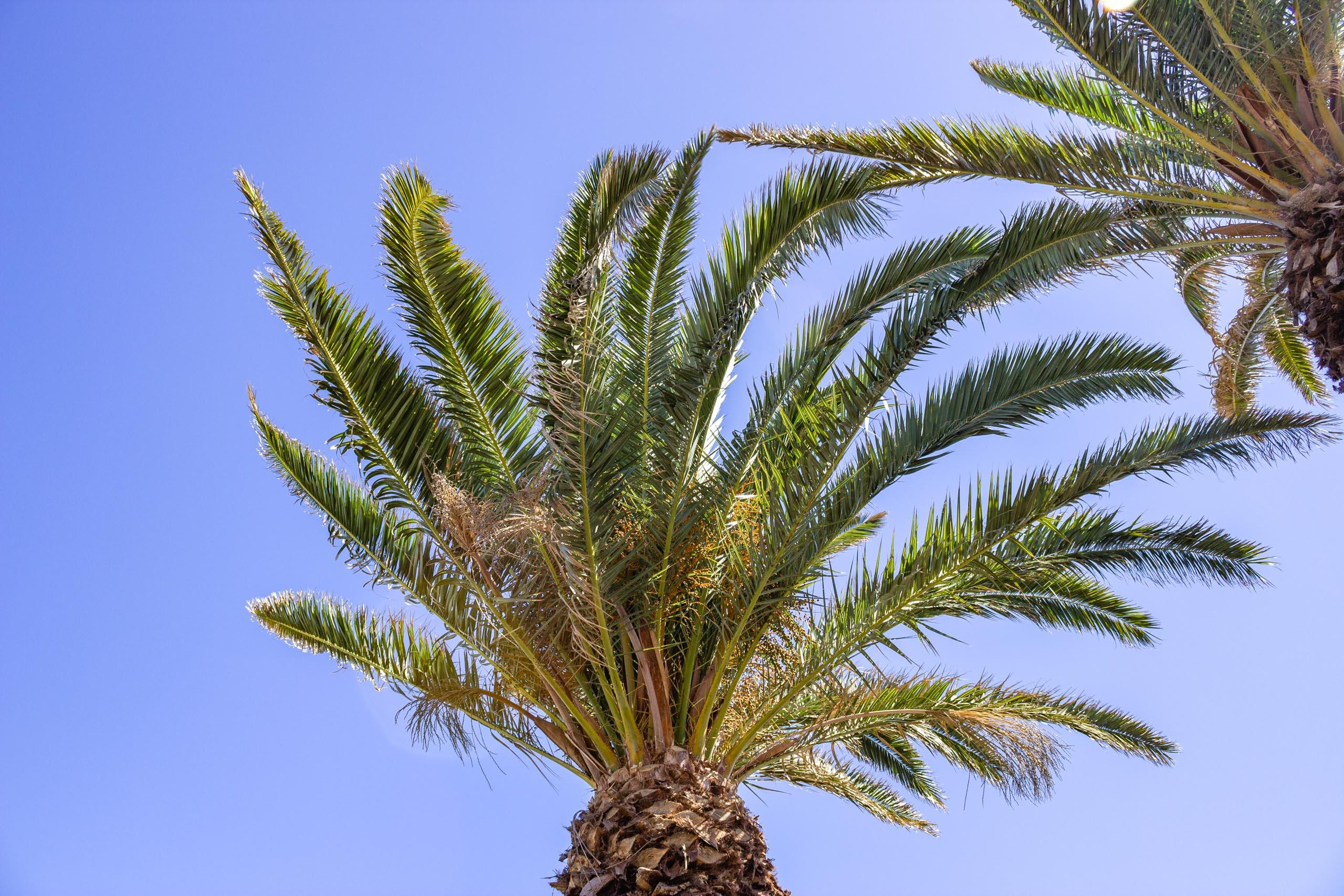 2015 09 Lanzarote PalmTrees 002
