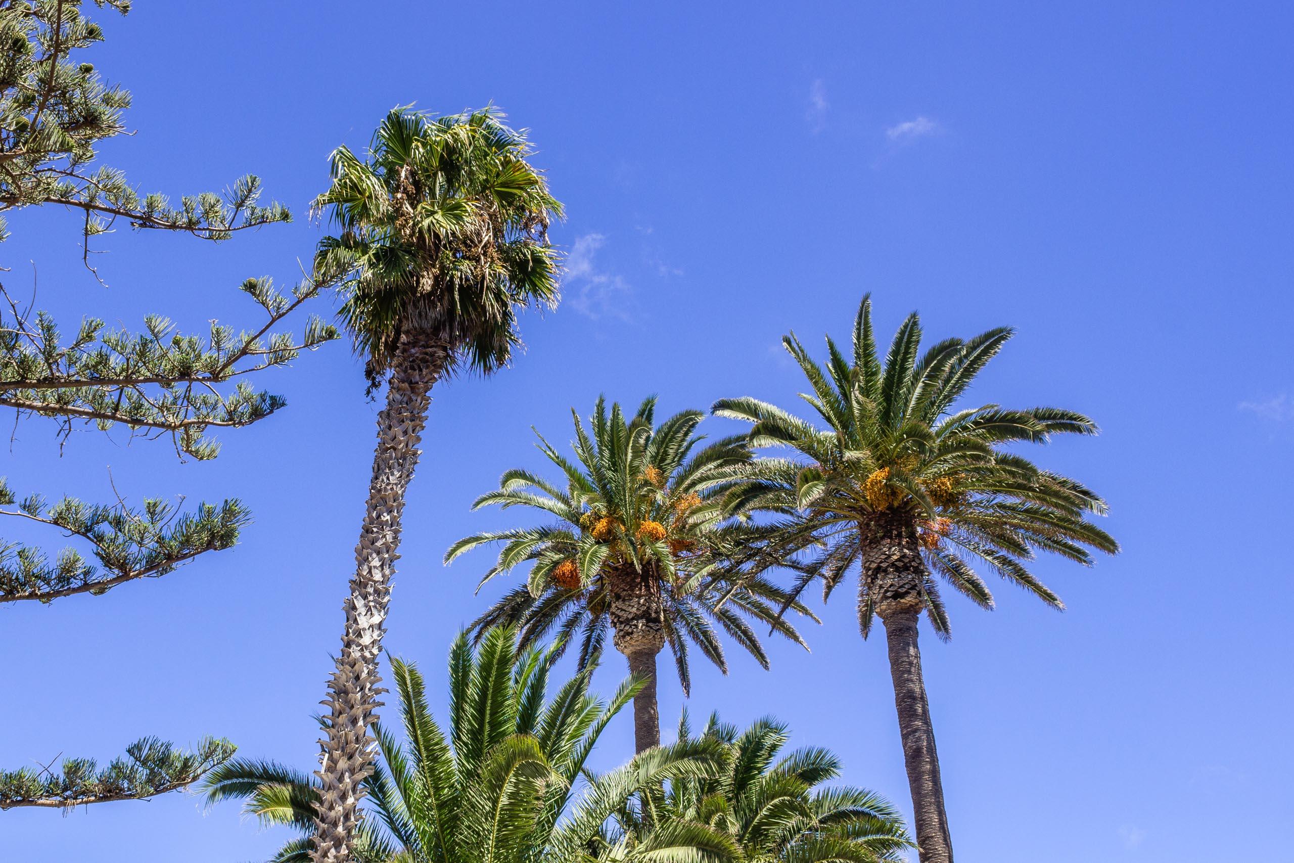 2015 09 Lanzarote PalmTrees 003