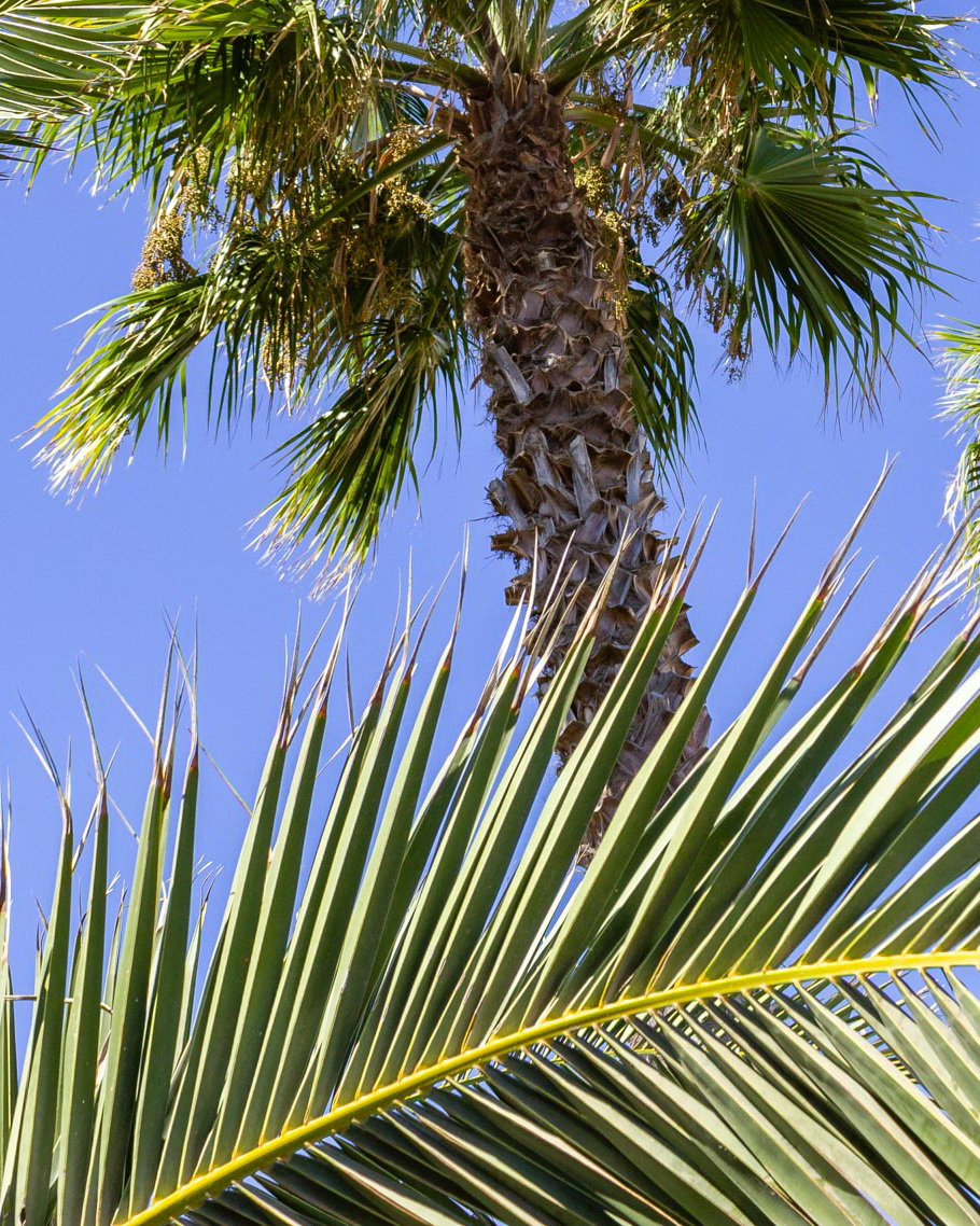 2015 09 Lanzarote PalmTrees 011 864 1080